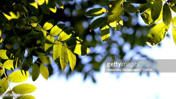 Low Angle View Of Leaves On Plant