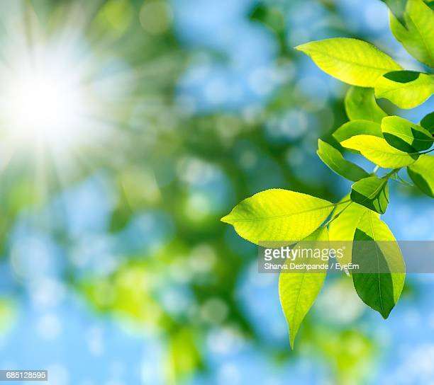 Low Angle View Of Leaves On Sunny Day
