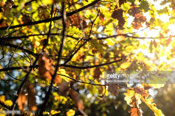 low angle view of leaves on tree during autumn - benedetto photos et images de collection