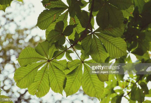 low angle view of leaves on tree - lingard stock pictures, royalty-free photos & images