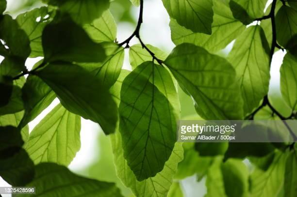 low angle view of leaves on tree,alter stammheimer weg,germany - weg fotografías e imágenes de stock