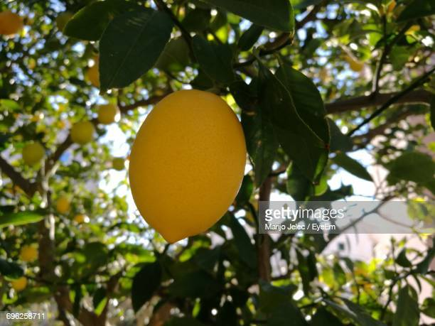 Low Angle View Of Lemon On Tree