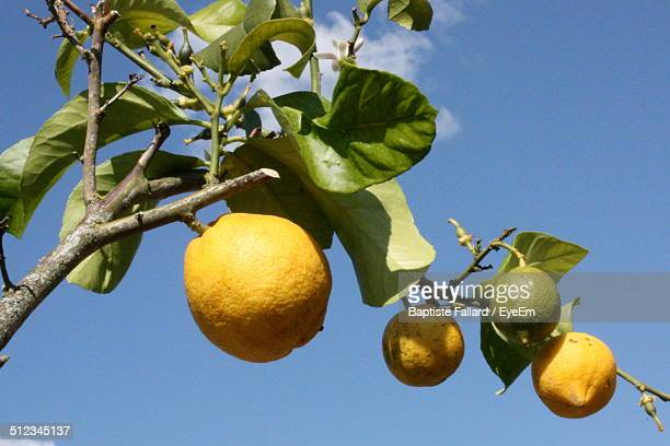 Low angle view of lemon tree against blue sky