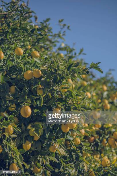 low angle view of lemons growing on tree against sky - cambridge new zealand stock pictures, royalty-free photos & images