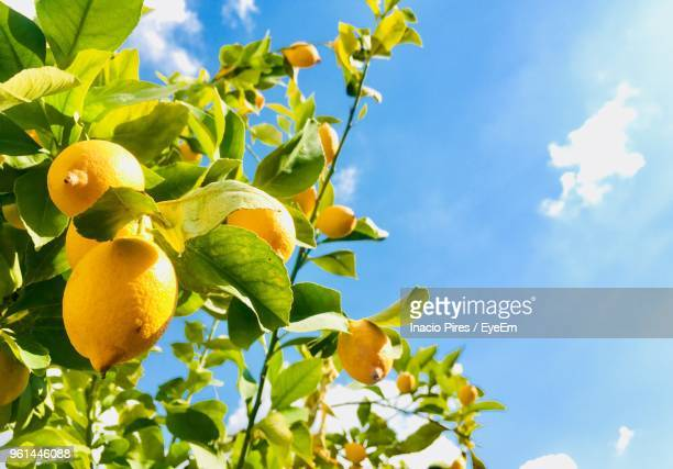 Low Angle View Of Lemons Growing On Tree Against Sky