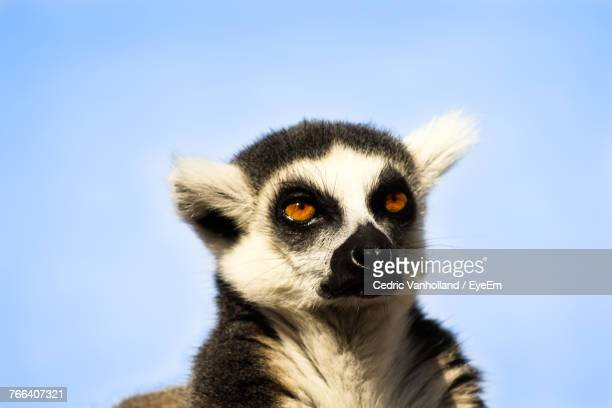 Low Angle View Of Lemur Against Clear Sky