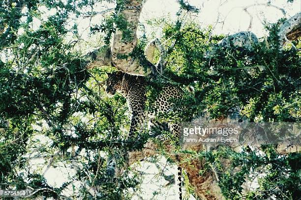 low angle view of leopard hiding on tree - animal markings stock pictures, royalty-free photos & images