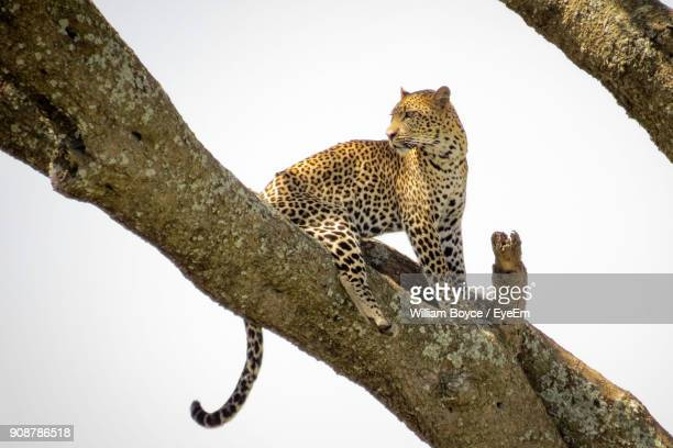 Low Angle View Of Leopard On Tree Against Clear Sky