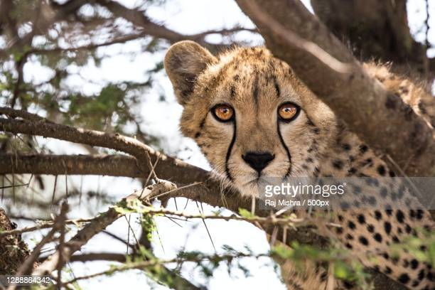 low angle view of leopard on tree,india - images stock pictures, royalty-free photos & images