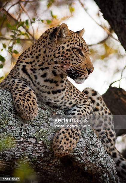Low Angle View Of Leopard Sitting On Branch