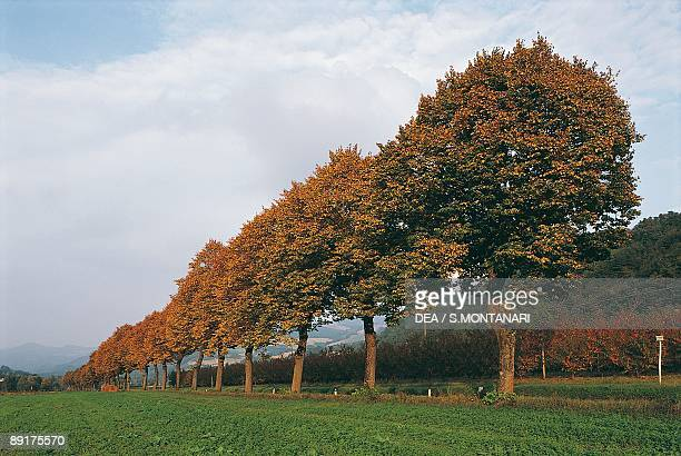 Low angle view of lime trees in a row