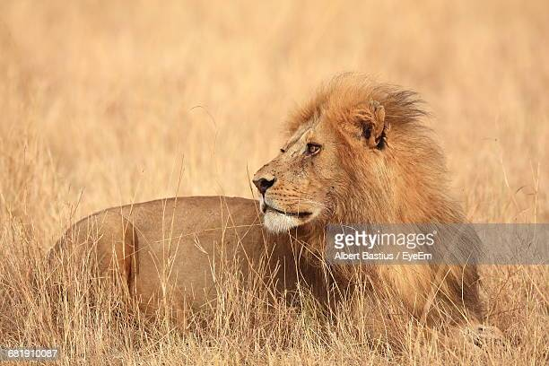 Low Angle View Of Lion In Field