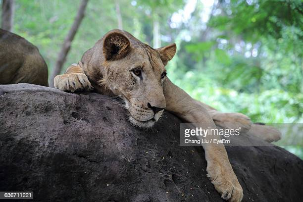 low angle view of lioness relaxing on rock - liu he stock pictures, royalty-free photos & images