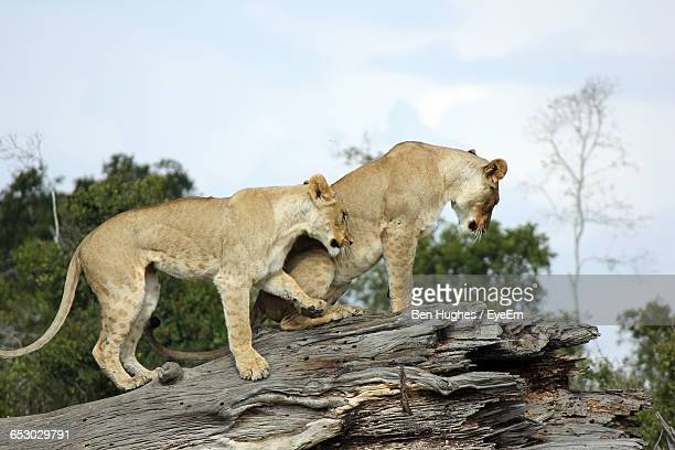 Low Angle View Of Lions On Tree Trunk Against Sky