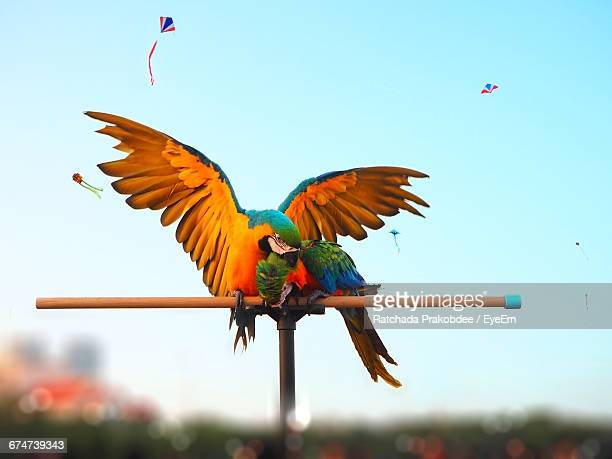 Low Angle View Of Macaws Perching On Wood Against Kites Flying In Clear Sky