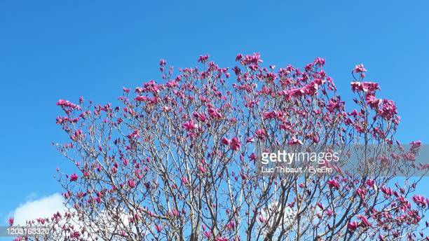 low angle view of magnolia blossoms against blue sky - palais royal stock pictures, royalty-free photos & images