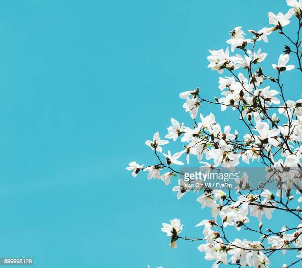 low angle view of magnolia blossoms against clear blue sky - bloesem stockfoto's en -beelden