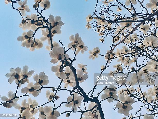 Low Angle View Of Magnolia Blossoms In Spring