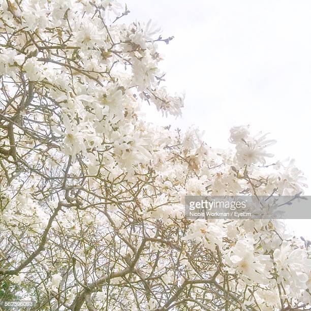 Low Angle View Of Magnolia Flowering Tree