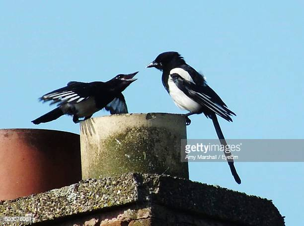 Low Angle View Of Magpies Against Clear Blue Sky