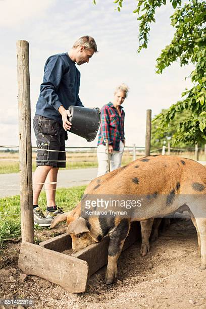 low angle view of man and woman feeding pigs at farm - pigs trough stock pictures, royalty-free photos & images