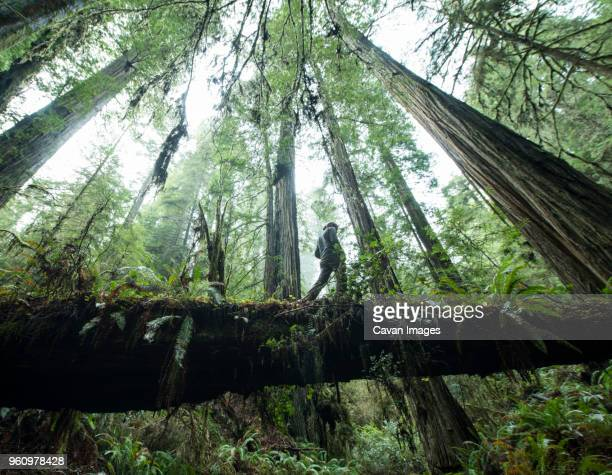 Low angle view of man walking on fallen tree trunk at Jedediah Smith Redwoods State Park