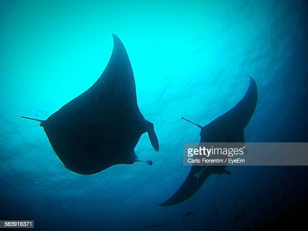 Low Angle View Of Mantas Swimming Underwater