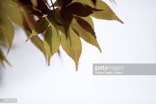 low angle view of maple leaves against sky - paulien tabak foto e immagini stock