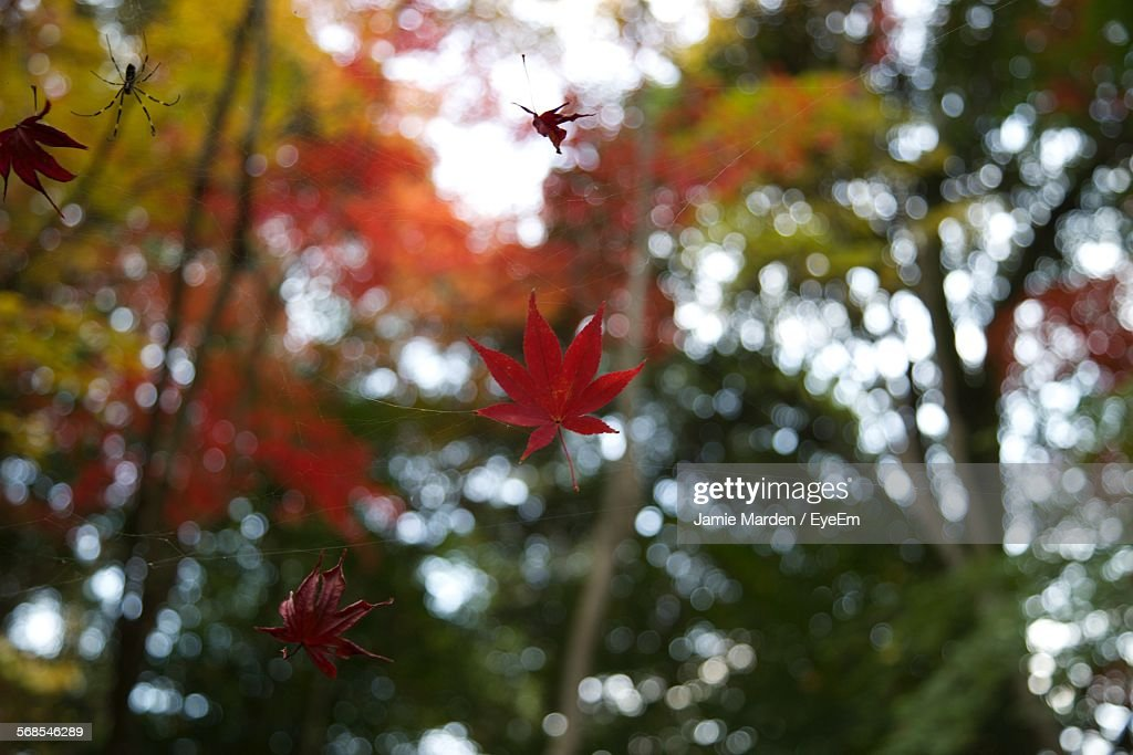 Low Angle View Of Maple Leaves On Spider Web : Stock Photo