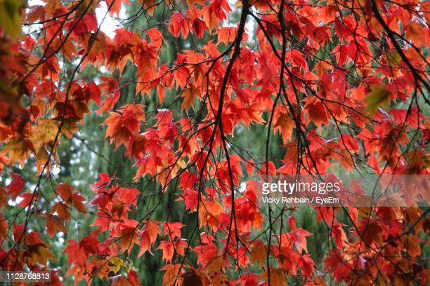 low angle view of maple leaves on tree during autumn - tetbury stock pictures, royalty-free photos & images