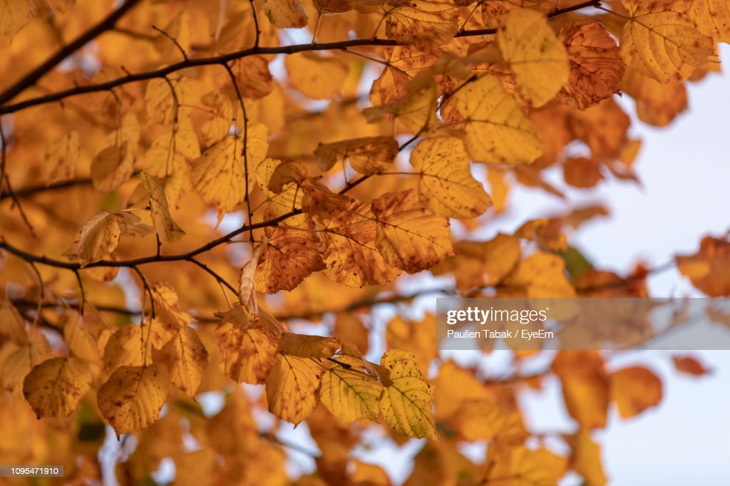 Low Angle View Of Maple Leaves On Tree : Stockfoto