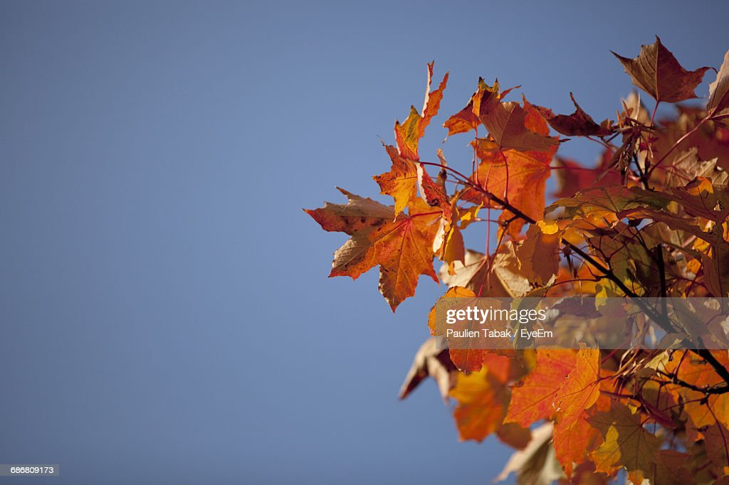 Low Angle View Of Maple Tree Against Clear Sky : Stockfoto