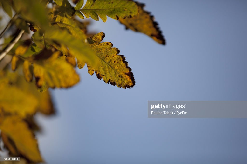 Low Angle View Of Maple Tree Against Clear Sky : Foto stock