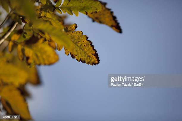 low angle view of maple tree against clear sky - paulien tabak foto e immagini stock