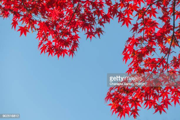 low angle view of maple tree against sky - chanayut stock photos and pictures