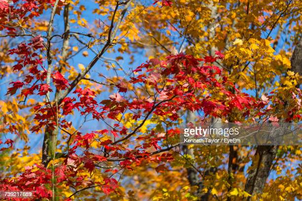 Low Angle View Of Maple Tree