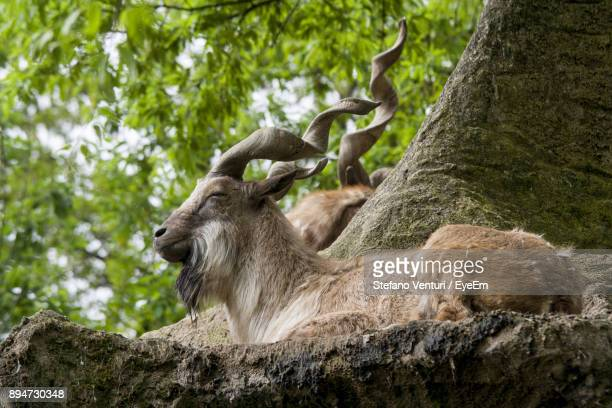 low angle view of markhor goats resting by tree - markhor stock photos and pictures