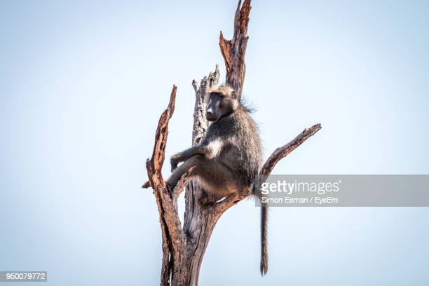 Low Angle View Of Monkey On Tree Against Clear Sky