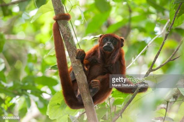 low angle view of monkey on tree - marek stefunko stock pictures, royalty-free photos & images