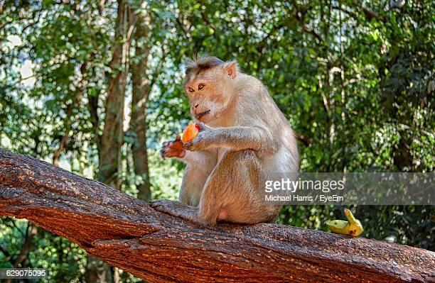 low angle view of monkey sitting on tree - panjim stock photos and pictures