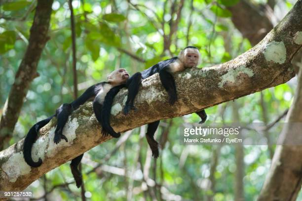 low angle view of monkeys resting on branch in forest - marek stefunko stock pictures, royalty-free photos & images