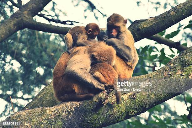 Low Angle View Of Monkeys Resting On Tree Branch