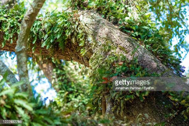 low angle view of moss growing on tree trunk - new orleans city park stock pictures, royalty-free photos & images
