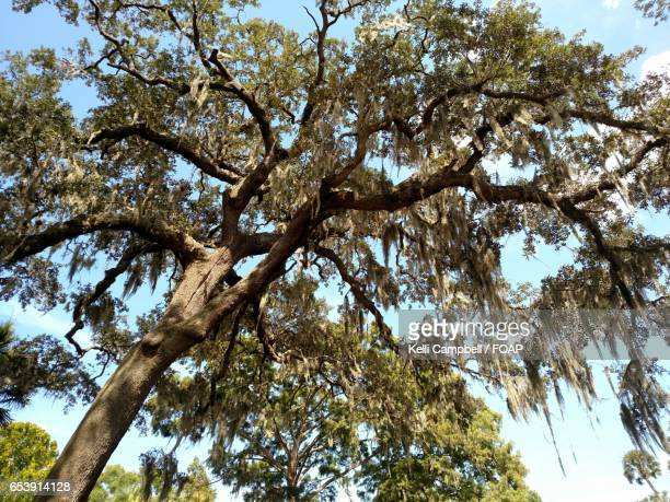 low angle view of oak tree with spanish moss - kelli campbell stock pictures, royalty-free photos & images