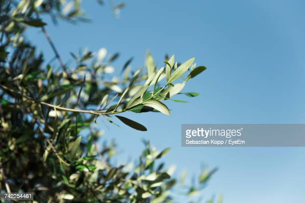 Low Angle View Of Olive Tree Against Clear Sky