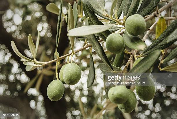 low angle view of olives growing on tree - green olive stock photos and pictures