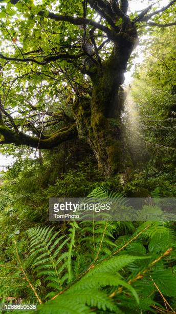 low angle view of olonesome old and gnarly beech tree in summer forest. enchanted forest - the slants stock pictures, royalty-free photos & images