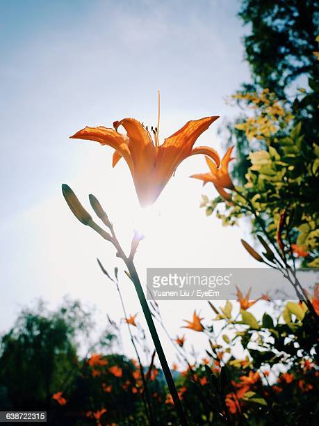 low angle view of orange flower blooming against sky - liu he stock pictures, royalty-free photos & images