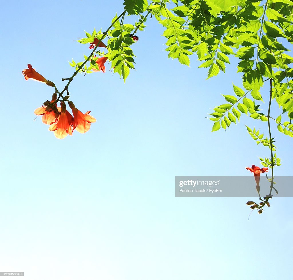 Low Angle View Of Orange Flowers Blooming Against Clear Sky : Stockfoto