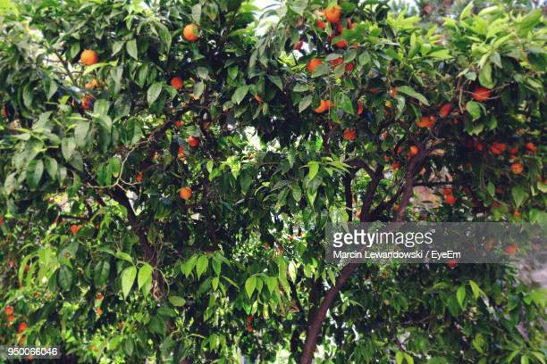 Low Angle View Of Orange Fruits Hanging On Tree